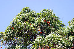 A mango is a fruit only grown in tropical areas like Belize